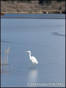 凍結した田貫湖に降り立った白い鳥