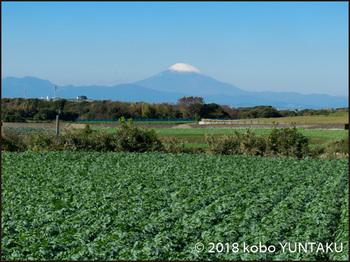 大根畑と富士山