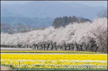 岩井親水公園の桜並木と水仙