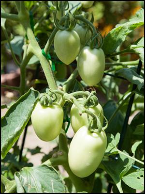 メキシコのトマト 実の生長(8月7日撮影)